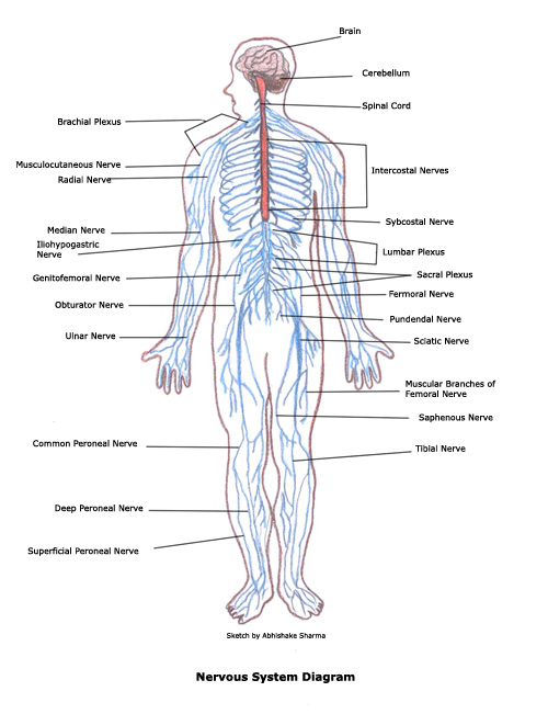 Overall Function Jareds Nervous System Site